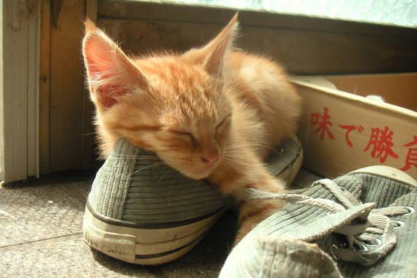 コンバースの上で寝ている茶トラの子猫